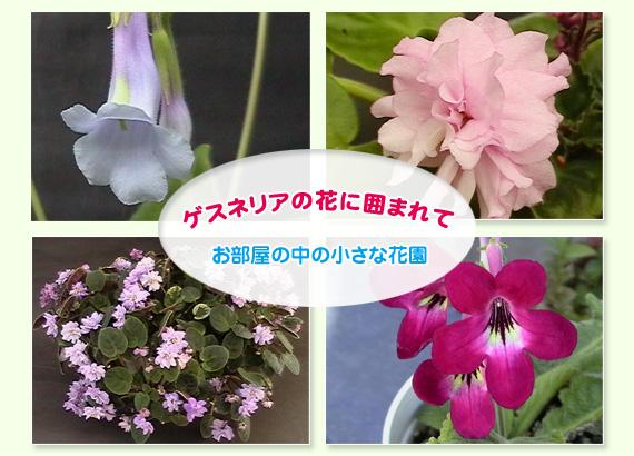 セントポーリアの花に囲まれて お部屋の中の小さな花園 兵庫県宝塚市の創生園でございます。